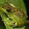 DSC03024 Treefrog