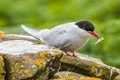 Arctic Tern_MG_012220