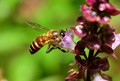 Bee on Basel Flower