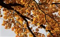 oak_in_autumn