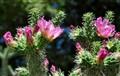 Rios Caledonia Adobe Cactus