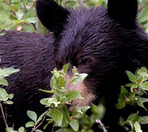 Black Bear crop enlargement