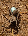 Wolf spider with blue egg sac
