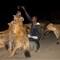 hyena 1-