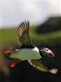 Flying Puffin