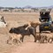 2013-11-08 PS Tanzania Serengeti Lion Buffalo 72