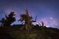 Milky Way Rising Behind Bristlecone Pine