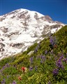 Mt. Rainier - Foreground/Background - Sharp!