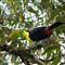 Chesnut Mandibuled Toucan