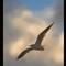 Sea Gull Over Coate Water II