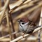 Tree Sparrow in the reeds