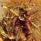 2017 Amber 021A March Diptera Nematocera Female