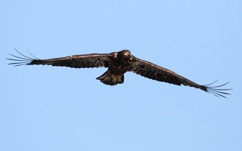 Eagle Hawk 1-26-18 67