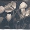 Tulips01_Toned_750