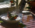 Lorikeets Making a Splash