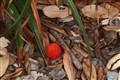Arbutus Berry