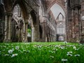 Pushing up the daisies at Tintern Abbey
