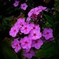 Little Magenta Flowers