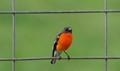 Framed Flame Robin