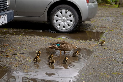 Duck Family at the Car Park