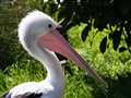 Great Australian Pelican