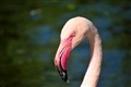 Chzec Flamingo