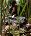 grebe chick feeding time