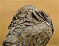 Dove Preening