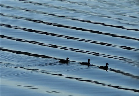 Coots on a wake