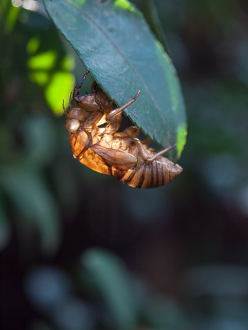 Shell of a cicada