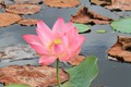 Water Lilly Blooming