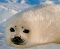 harp seal pup on north atlantic ice