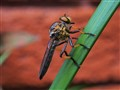 Robber fly lies in wait