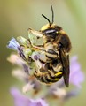 Wasp on lavender
