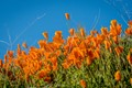 Orange Poppies SuperBloom-1709