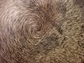 Water buffalo whorl
