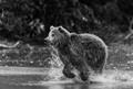 Running brown bear