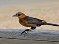 Boat-tailed grackle, female (Quiscalus major) - Flagler Beach, FL, USA - Date taken - 02/13/17, 02:08 PM - Photo ID - DSCF8693 - Camera - FinePix X-S1 © 2017 Bill Elvey