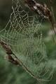 spiderweb--morning