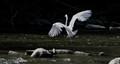 CR__4192-Egret