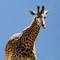 giraffe3-dp