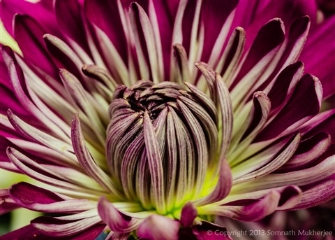 Chrysanthemum | Englewood, CO | January, 2013