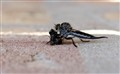 Robber Fly & Lunch