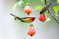 Sun Birds in Couple