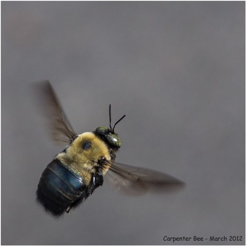Carpenter Bee in flight - March 2012 - recrop