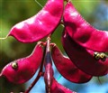 Purple pod vine.