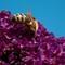 Honey-Bee-2b