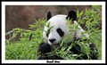 Lunch time for panda