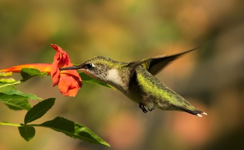 Ruby Throathed Hummingbird
