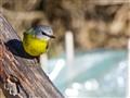 Eastern Yellow Robin Victoria Australia